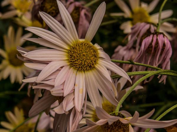 fade-flower