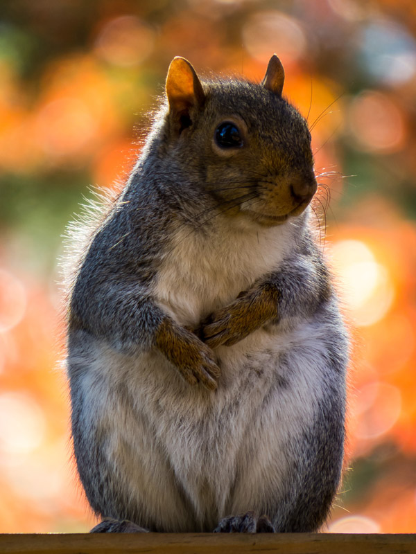 fat_squirrel