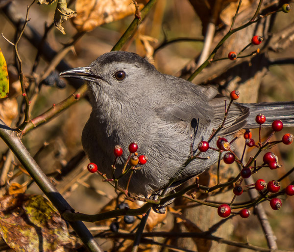 gray_bird1