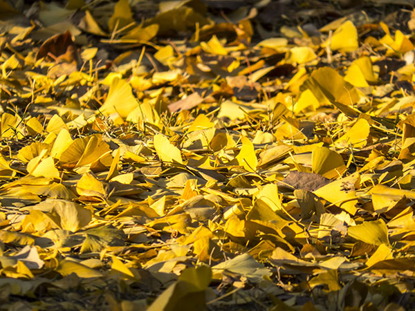 0-gingko-leaves