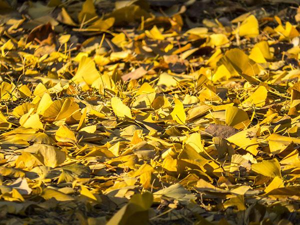 0-gingko-leaves